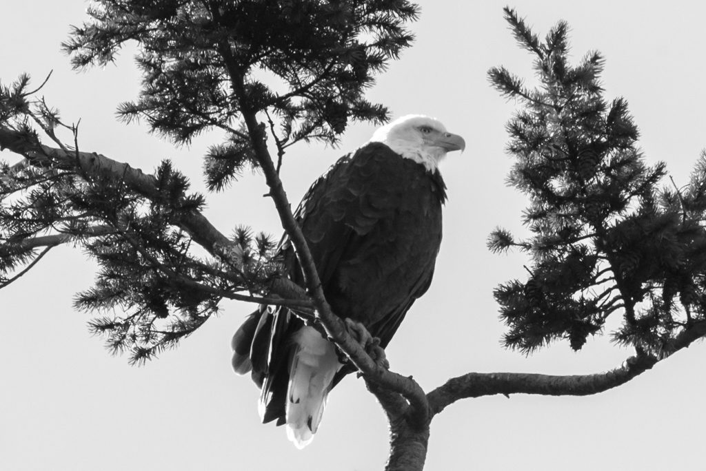 black and white bald eagle