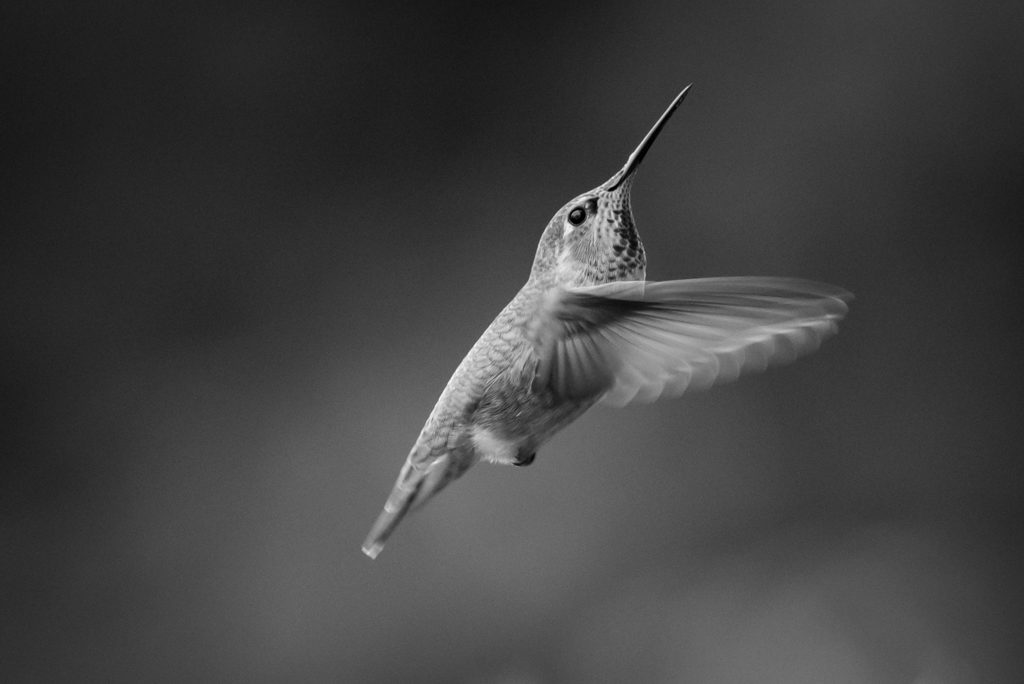 black and white hummingbird